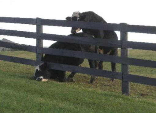 vaca2g